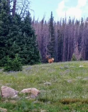 Elk Snowy Range